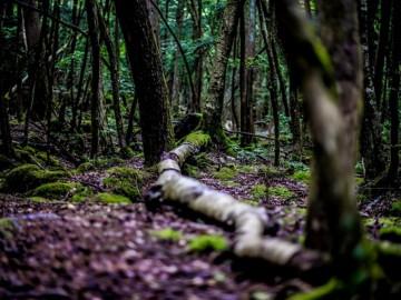Misztikus Aokigahara - a japán öngyilkos erdő