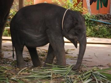 Thaiföld, a mosolyok országa – 6. rész - Elefántlátogatóban